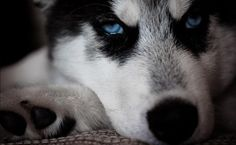 Huskies have the most beautiful eyes x-post from rhusky