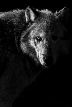 Warpaint | Gray Wolf by Nathaniel Smalley