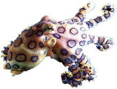 """Blog post from Science Stuff: """"Beware the Blue-Ringed Octopus!""""  This little beauty is one of the most venomous creatures on Earth.  Read on for some great facts to share with your science students."""