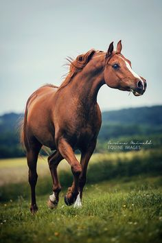 Chestnut Arabian, Equine Photo Academy