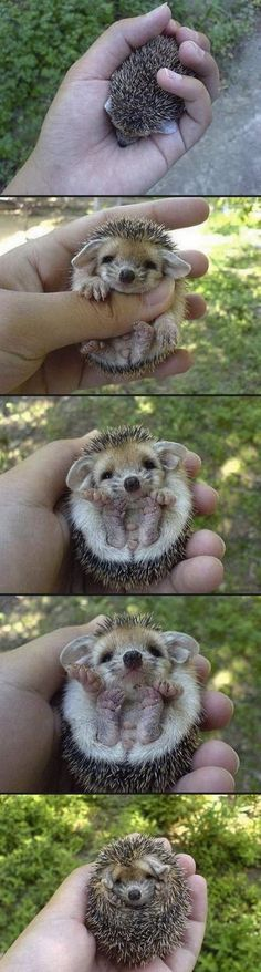 So much hedgehog cuteness.