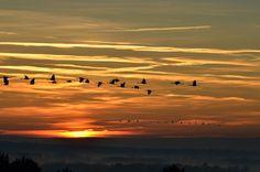 https://flic.kr/p/D8uVeA   Vol de grues cendrées au lever du soleil - Explored !   Photographiées depuis l'observatoire de la réserve d'Arjuzanx (40)