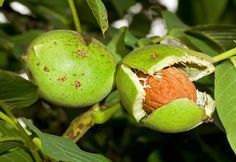 If you boil the walnut shell in water and drink the juice .- Ceviz kabuğunu suda haşlayıp suyunu içerseniz… If you boil the walnut shell in water and drink the juice … - Growing Blackberries, Growing Sunflowers, Athlete Nutrition, Sweet Chestnut, Boiled Food, Walnut Shell, Fruit Trees, Healthy Drinks, Healthy Food