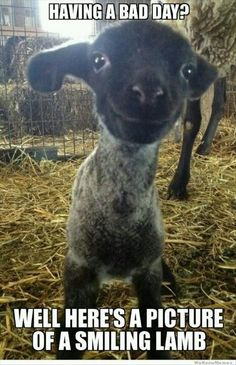 A smiling llittle lamb is an innocent creature made from God.