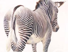 """Wrong Way"" Zebra Wildlife Watercolor by Paul Jackson"