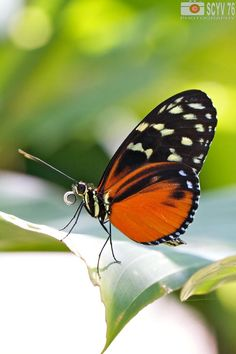 Photograph Tiger longwing by Yves S on 500px
