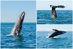 All you need to know about gray whales. Why it's so fascinating to see them and where and when to meet them: The best time and place to watch gray whales. Fin Whale, Gray Whale, Whales, Whale Tattoos, Young Animal, Humpback Whale, Baja California, Whale Watching, Pacific Ocean