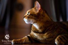 Photo of a brown Bengal cat by Amanda Perris #bengalcat