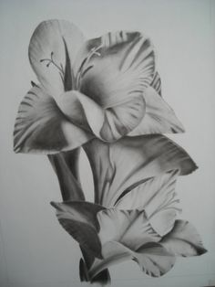Charcoal drawing flower Gladiolus /Sword