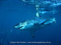 The water clarity at Neptune Islands provides amazing photo opportunities for shark cage diving with Calypso Star Charters! Shark Cage, Apex Predator, Shark Bites, Great White Shark, Orcas, Big Daddy, Aquaman, Ocean Life, My Animal