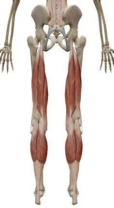 Human Muscle Anatomy, Human Anatomy And Physiology, Anatomy Bones, Gross Anatomy, Human Muscular System, Zbrush Anatomy, Anatomy Sculpture, Postural, Leg Bones
