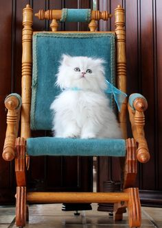 Teacup kitten breeder specializing in doll faced Chinchilla, White, and Silver Teacup Persian Kittens