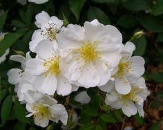 """The clean, bright semi-double flowers of Darlow's Enigma--another object of desire in my new obsession with fragrant white open-faced roses. From """"The Enigma That is Darlow. A Rose You Should Know."""" 