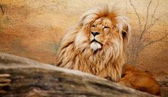 lion-majestueux.jpg (800×465)
