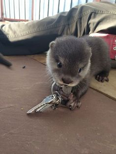 beautiful baby otter playing with keys