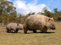 Wombats? Capybaras? Does anyone know?