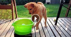 Nagyon egyszerű játék, de a kutyáknak hihetetlen boldogságot okoz. Akinek kutyája van tudja, hogy a kedvenc szórakozásuk általában az eldobott labda, vagy