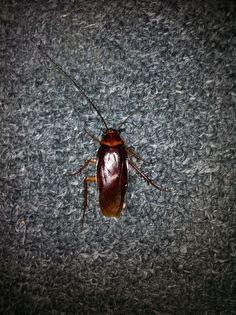 Roach found on 11/06/2013. From hell's heart I stab at thee; for hate's sake I spit my last breath at thee. Ye damned roach!