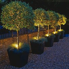 Potted Olive Tree Lighting... Maybe a different kind of tree