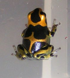 Colourful Poison Frog