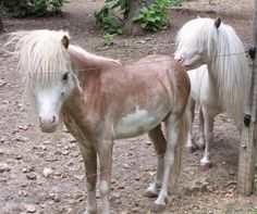 Mini Sorrel Paint Stallion 5 year old Sorrel Paint bald faced, 4 white socks, flaxen mane and tail Stallion.  Lil Beginnings Miniature Horse and Pony - Google+