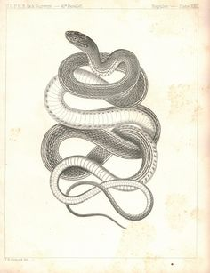 Reptiles: Snake XXIII 1859 U.S.P.R.R. Lithograph Print - 1859 Antique Black and White Print, Plate 23. Issue: Reports of Explorations