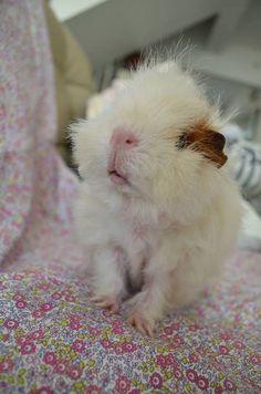 Merino guinea pig. Aww.