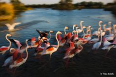 Greater Flamingos (Phoenicopterus roseus) taking off from lagoon, Camargue, France Provence, Greater Flamingo, Animals Images, Natural Wonders, Land Scape, Wonders Of The World, Nature Photography, Wildlife, Birds