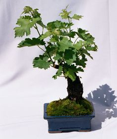 The Grape Bonsai Tree's are awake!  Every wine lover dreams of owning a vineyard.  Start small...