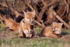 Little Foxes - You're too young to see this!! by Megan Lorenz on 500px