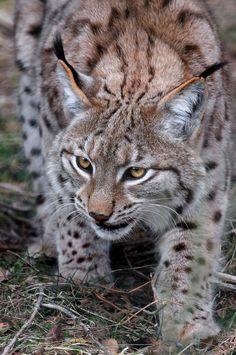 The Eurasian Lynx by F. David Carmona López on 500px