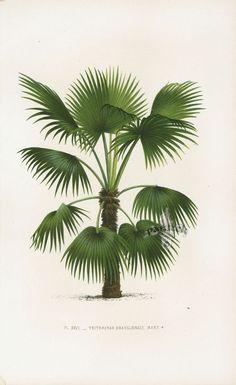 Home Decor Vintage Palm Tree Illustration Art Print. Tree Illustration, Botanical Illustration, Illustrations, Tropical Art, Tropical Plants, Botanical Drawings, Botanical Prints, Palm Tree Print, Palm Trees Beach