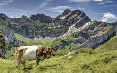 Wallpaper Desktop Background Cow  (23)