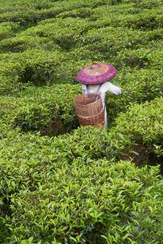 Picking Tea | by cdn17