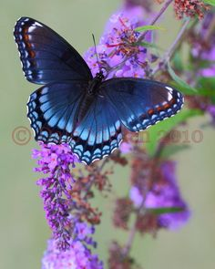 Red-Spotted Purple Buttherfly --  © Dale Niesen