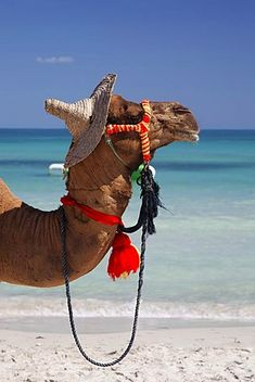 Dromedary (Camelus dromedarius) wearing a hat, on Sidi Mahres beach on the island of Djerba, Tunisia, Maghreb, North Africa, Africa
