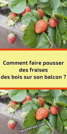 Strawberry, Food, Gardens, Wild Strawberries, Fruits And Veggies, Organic Fertilizer, Gardening Hacks, Potager Garden, Balcony