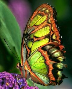 Orange-Lime Flutterby