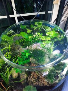 """12"""" bowl: Substrate dirt capped with Tahitian Moon Sand. Plants: Anubias nana petite Anubias nana moss pennywort bacopa caroliniana pygmy chainsword moss balls water lettuce frogbit Light: sunlight and LED light fixture from Aqueon Evolve4"""