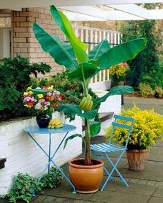Banana is a fast growing plant and it requires heavy feeding to grow at its full strength. Fertilize young plant when it establishes well with nitrogen rich fertilizer to help it grow faster. Once your banana tree in pot becomes mature enough to produce fruit, fertilize it with 15:5:30 fertilizer regularly.