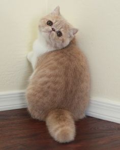 Exotic Shorthair Cat Orange