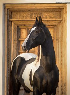 Photos of indian horse breed Marwari, photographed in India by Ekaterina Druz Equine Photography Kathiyawadi Horse, Horse Ears, Horse Love, Pretty Horses, Beautiful Horses, Animals Beautiful, Horse Photos, Horse Pictures, Marwari Horses