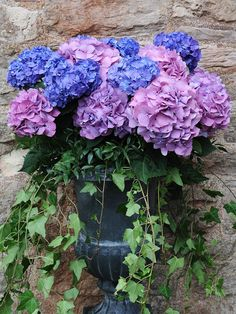Hydrangeas and cast iron urns. They keep well in a container, prefer filtered sun