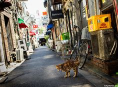 Japanese alley cat