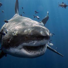 The Great White, Great White Shark, Baby Shark Do Do, Types Of Sharks, Shark Bait, Shark Fish, Shark Pictures, Most Beautiful Animals, Shark Week