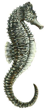 Sea horse (Hippocampus hudsonius)