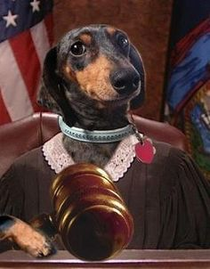 All Rise! #dachsund    Looks like Judge Lilly Pooh
