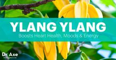 Ylang Ylang essential oil benefits heart health, mood, energy levels and more. Read more about ylang ylang health benefits and uses, along with ylang ylang recipes.