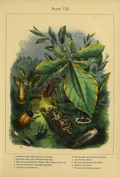 biology ilustrations Insect illustrations, from The butterfly vivarium, London,W. Fabulous Beasts, Biology Art, Old Book Pages, Art Clipart, Picture Collection, Beautiful Butterflies, Botanical Illustration, Natural History, Vintage Prints