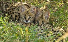 Two serval kittens huddle togethe